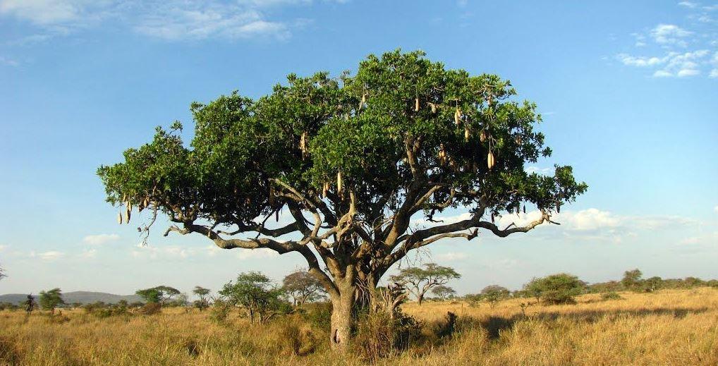 Plants in Serengeti national park