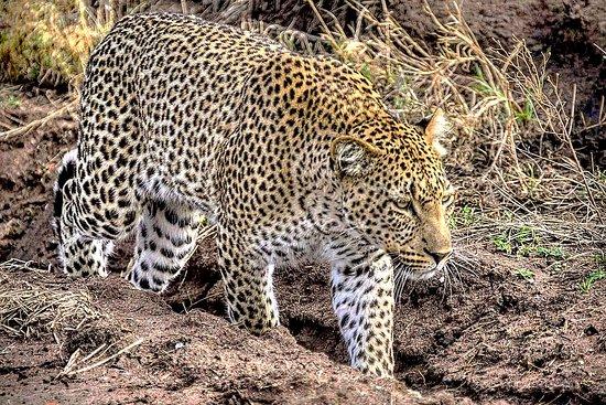 leopards in serengeti national park