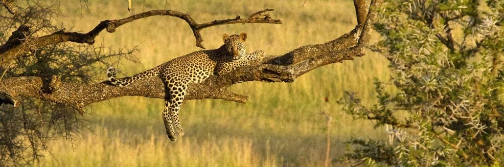 serengeti national park leopards