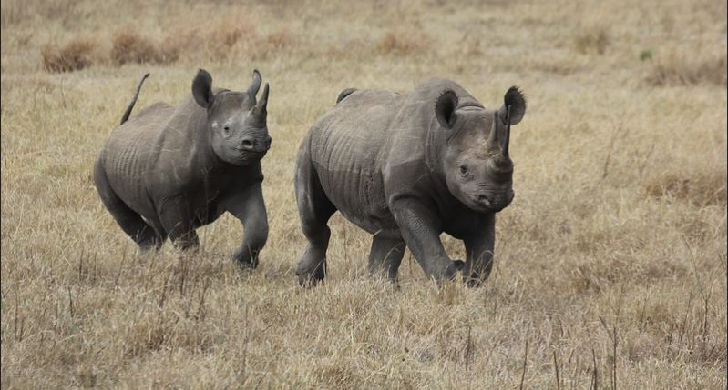 Black rhinos in Ngorongoro crater
